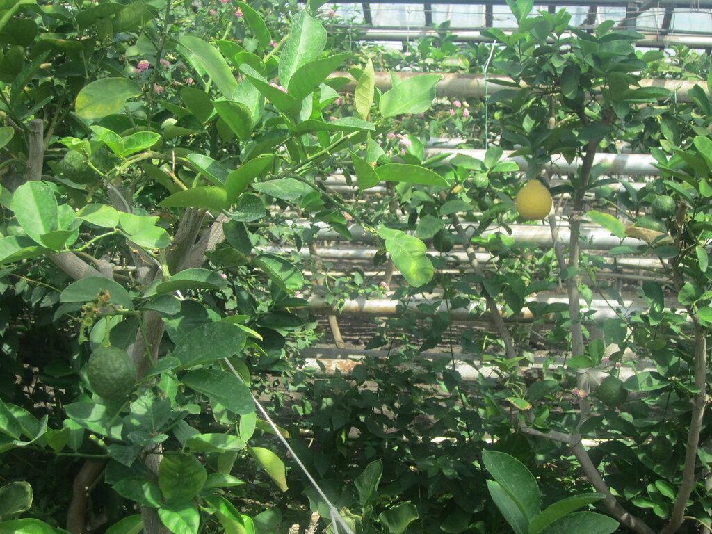 Лимоны разной степени спелости (25.06.2013)