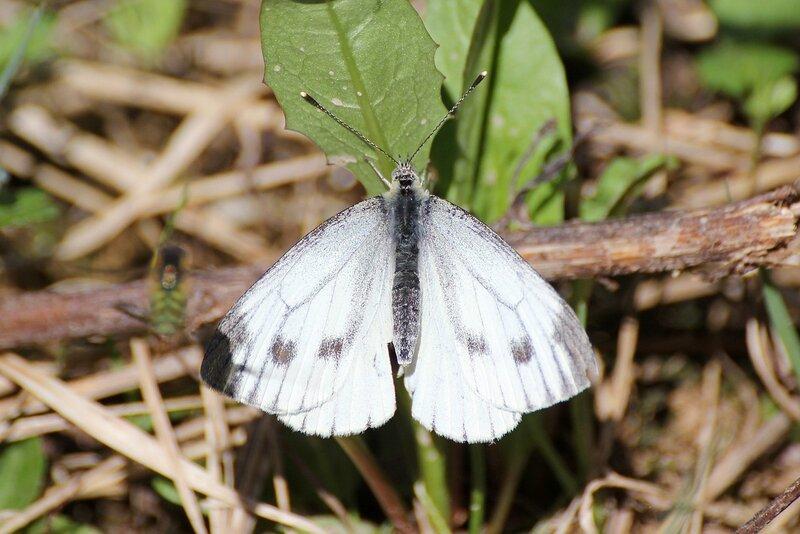 Бабочка-капустница из семейства белянок