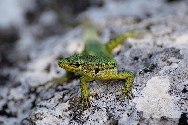 Ящерица прыткая (Lacerta agilis), портрет. Самец в зелёном брачном наряде