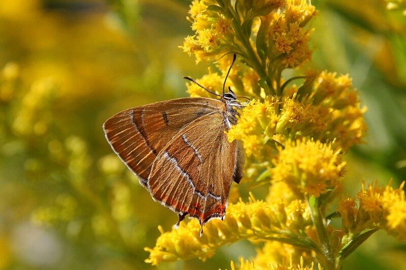 Бабочка Березовый зефир (хвостатка березовая) (Thecla betulae)  на жёлтых цветках северной мимозы 7266