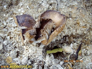 грибы на опилках