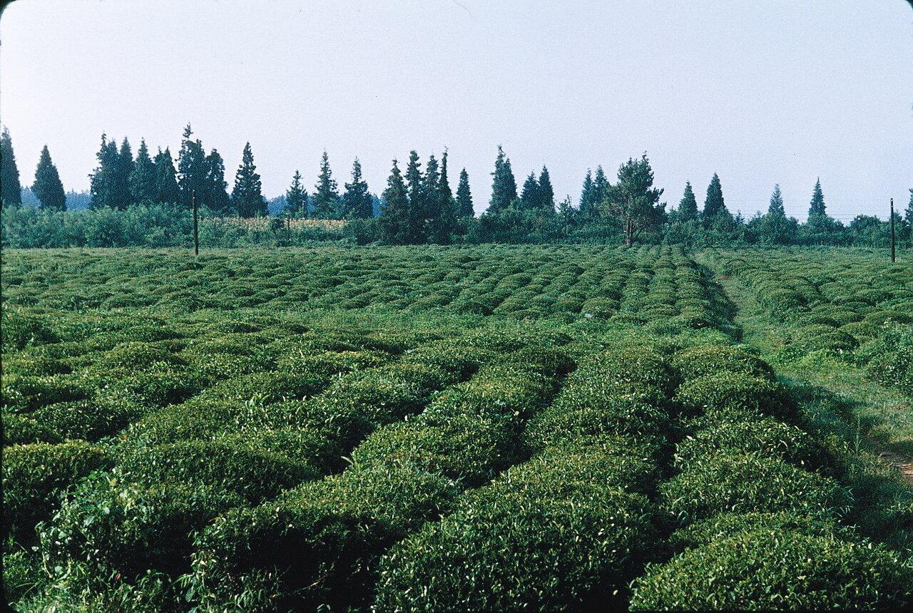 По дороге в Гори. На чайной плантации в Колхиде в регионе Очамчира