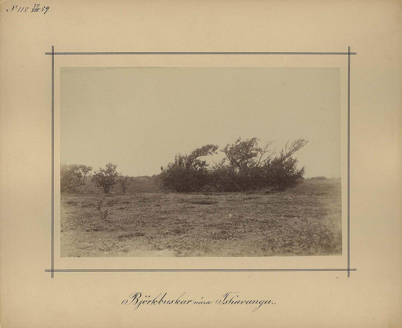 24.8.1889. Кусты берез возле Чаваньга