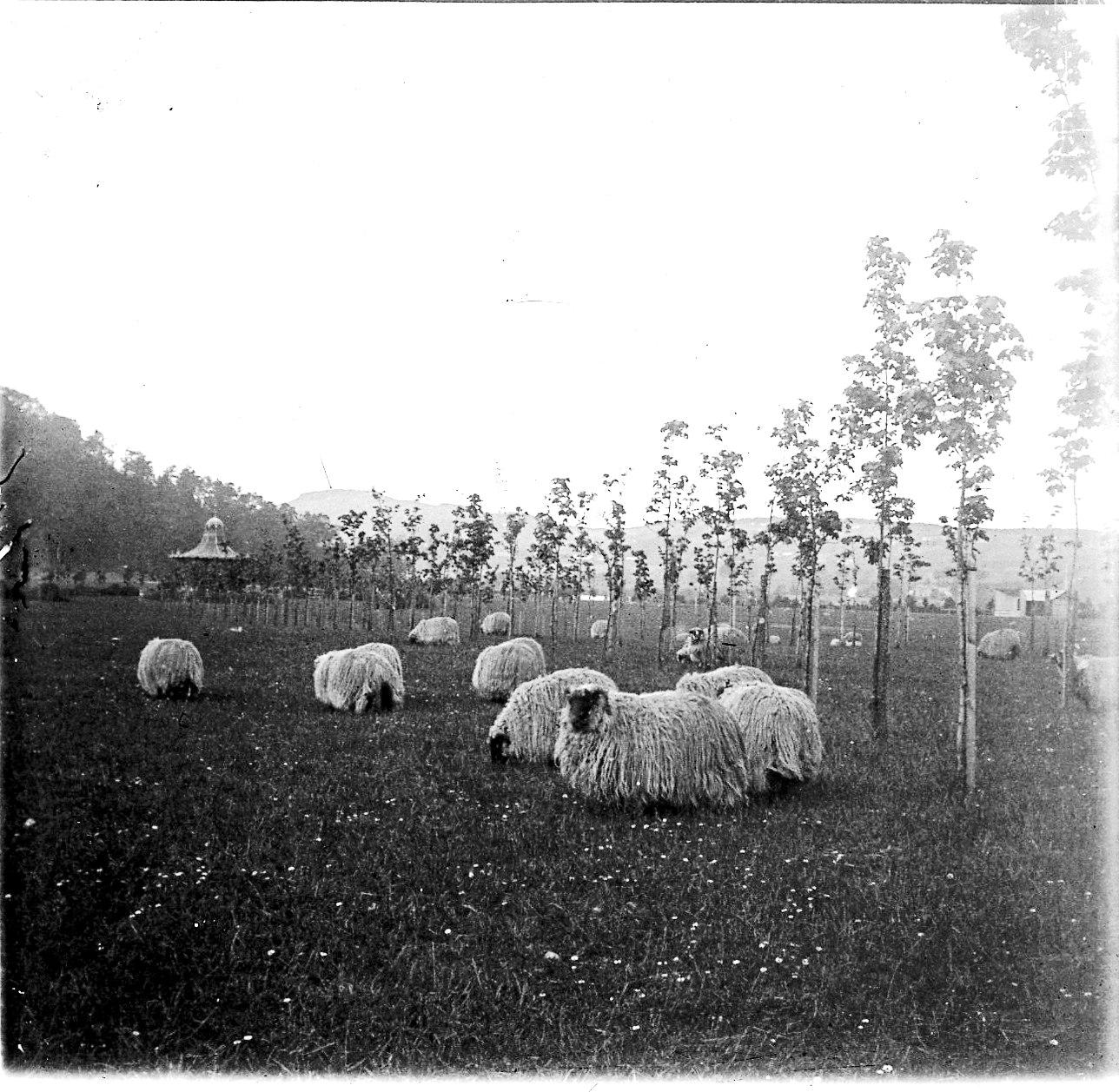 Инвернесс. Овцы
