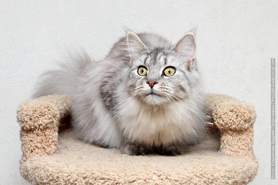 Мейн-кун питомник Москва кошка