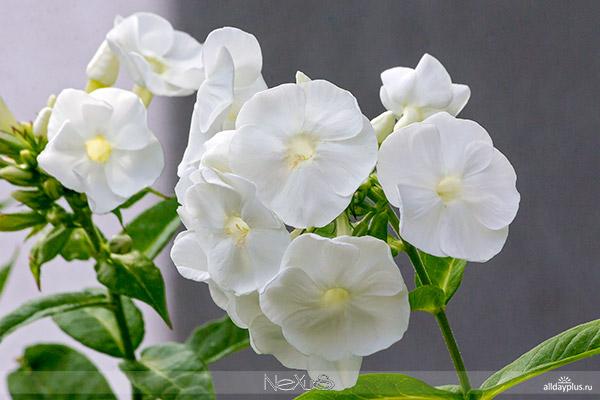 Я люблю все цветы, часть b5070 | Флокс - пламенный цветок.