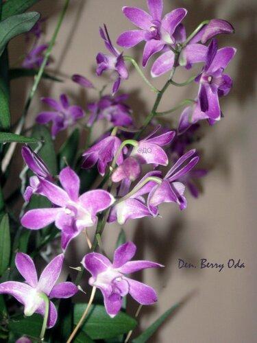 Дендробиум Кинга - осенний букетик цветов