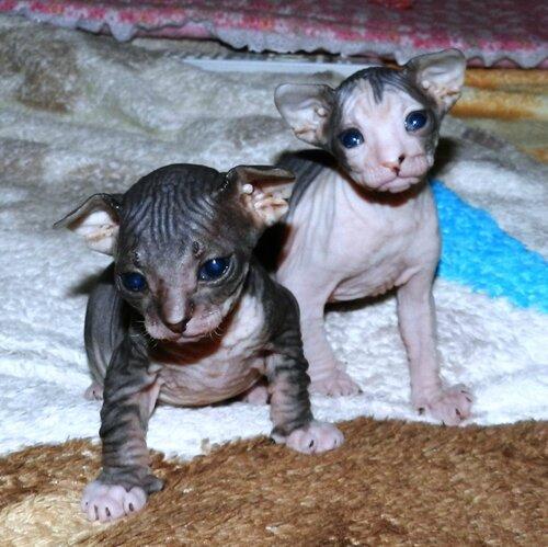Сфинксы - продажа котят 0_a62ae_a45dfa08_L