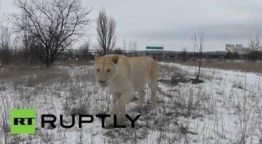 Африканские львы из крымского парка не испугались... снега