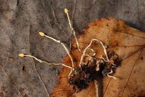 Ophiocordyceps myrmecophila