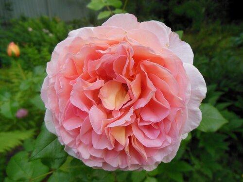 Роза Абрахам Дерби 01.JPG