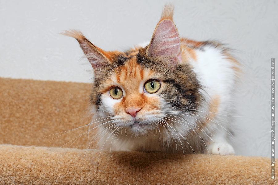 питомник Москва кошка Мейн-кун