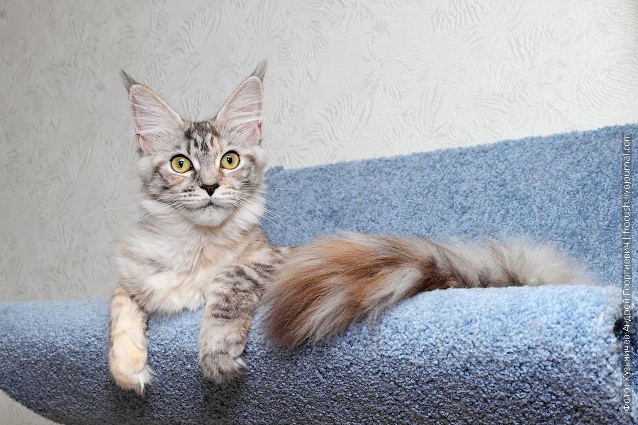 Мейн-кун кошка серебряный окрас