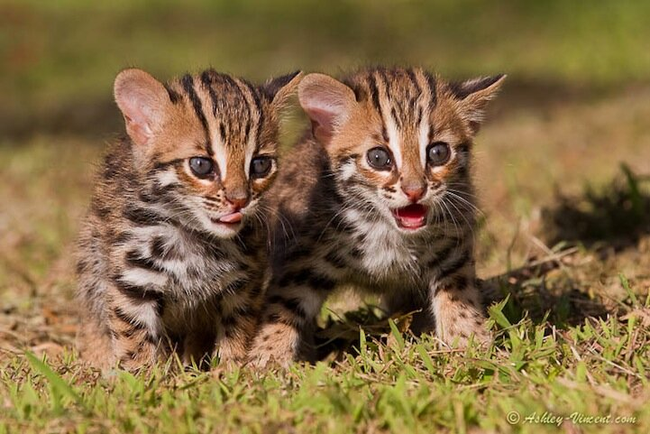 Dazed and Confused - Leopard Cat Cubs (females), Khao Kheow Open Zoo, Chonburi, Thailand - KKC 4462