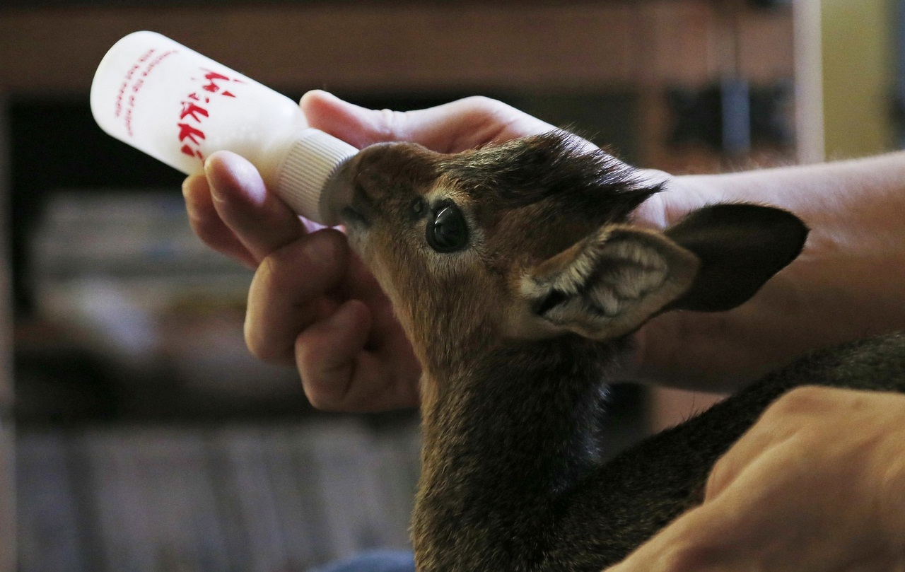 Tim Rowlands curator of mammals at Chester Zoo bottle feeds a baby Dik-dik at his home in Chester