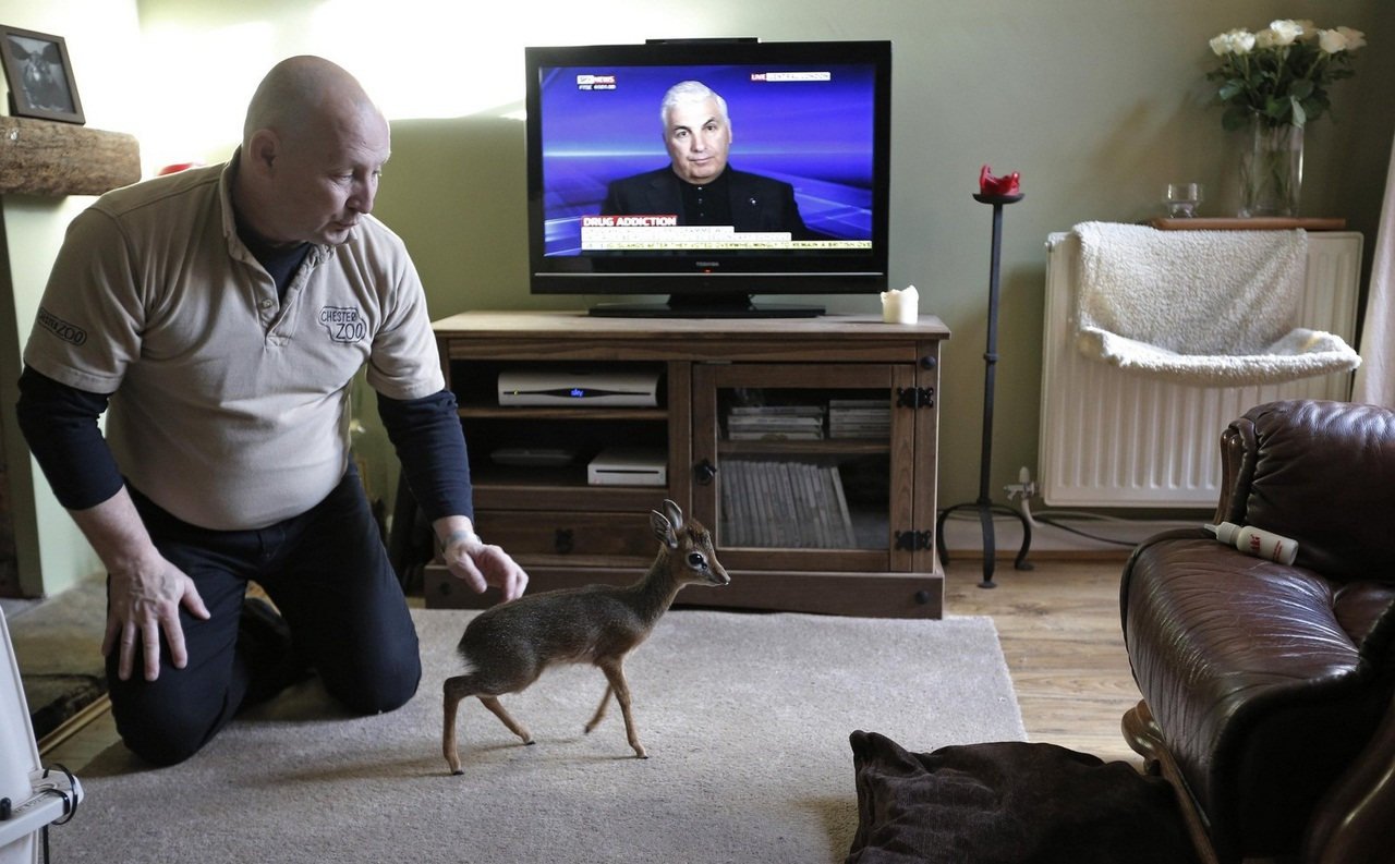 Tim Rowlands curator of mammals at Chester Zoo watches a baby Dik-dik walk across his lounge carpet at his home in Chester