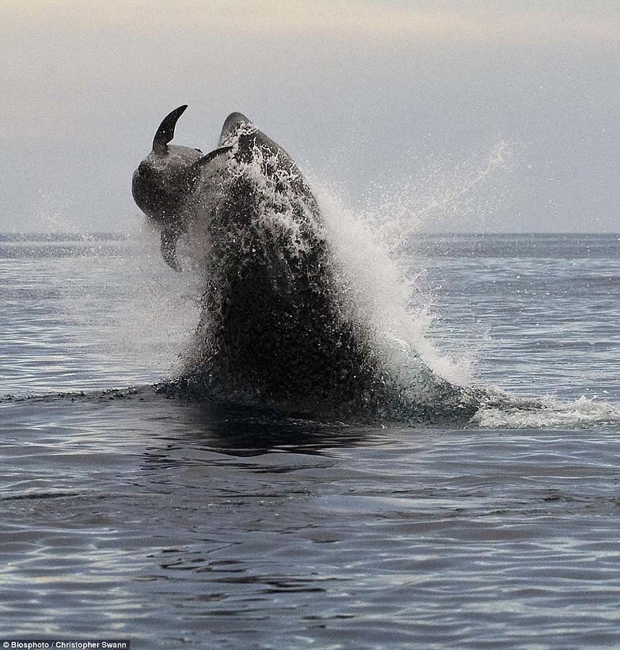 Невероятный прыжок косатки в погоне за дельфином