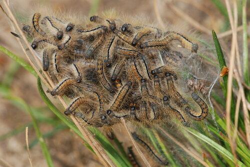 Выводок гусениц шелкопряда