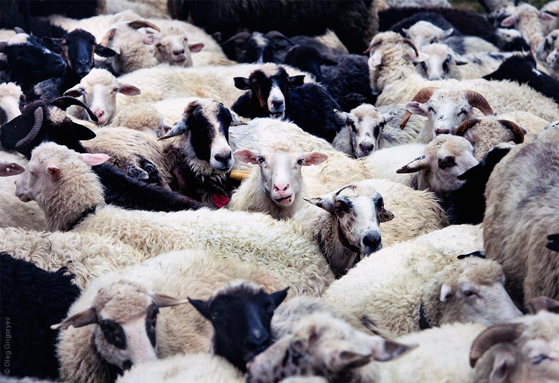 карпатские овцы на полонине