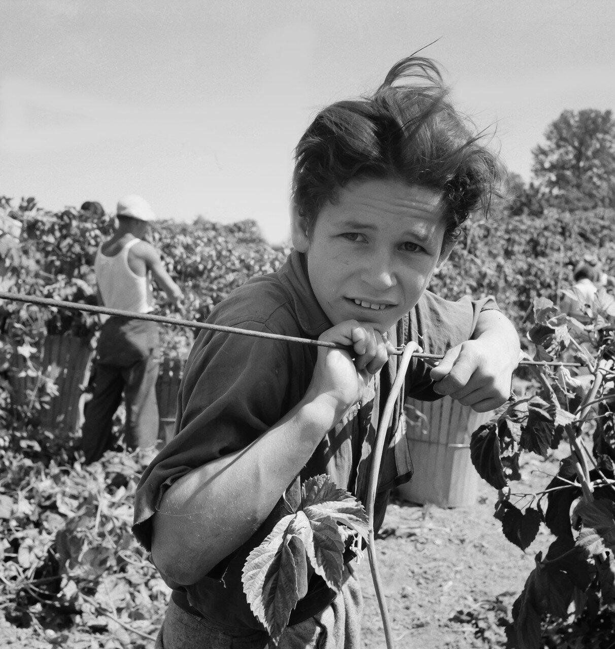 1939. Мальчик мигрант в возрасте одиннадцати лет и его бабушка работают на сборе хмеля. Он начал работать в пять часов утра. Фото сделано в полдень. Орегон