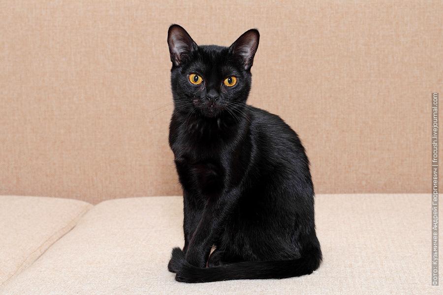 Бомбейская кошка Москва