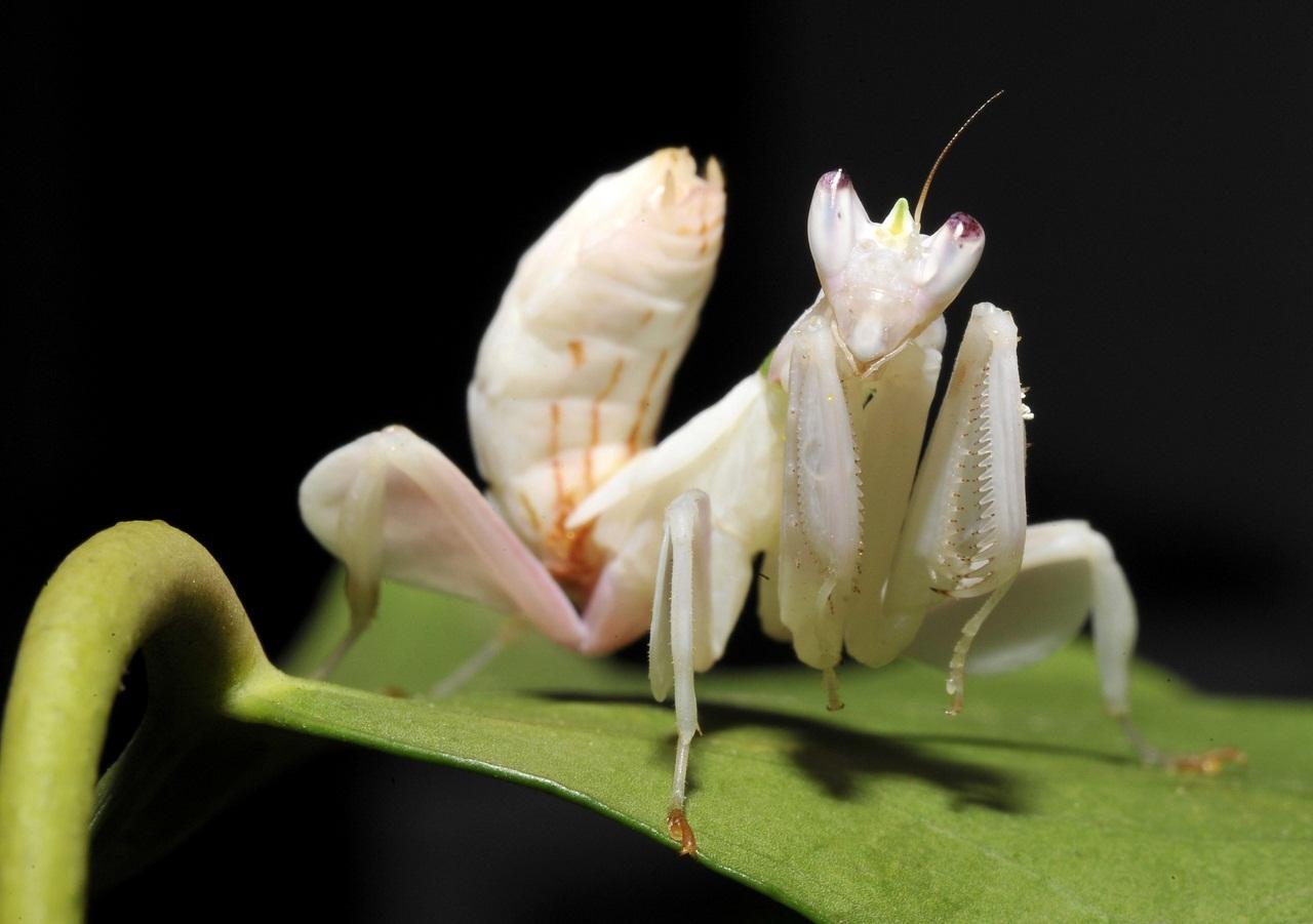 Állatvilág - Orchidea manó
