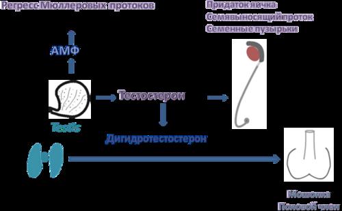 Схема гормональной активности
