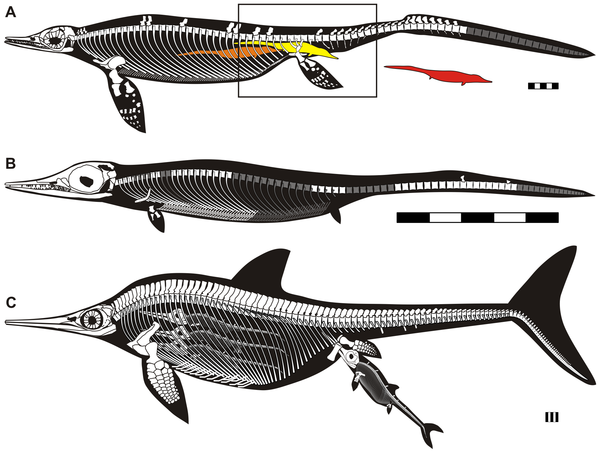 Stylized reconstruction of adult and embryo of Chaohusaurus in comparison to a derived ichthyopterygian.(A), adult based on AGM I-1 and CHS-5. Rectangle indicates the approximate range preserved in AGM I-1. Colored silhouettes of embryo are placed in appr