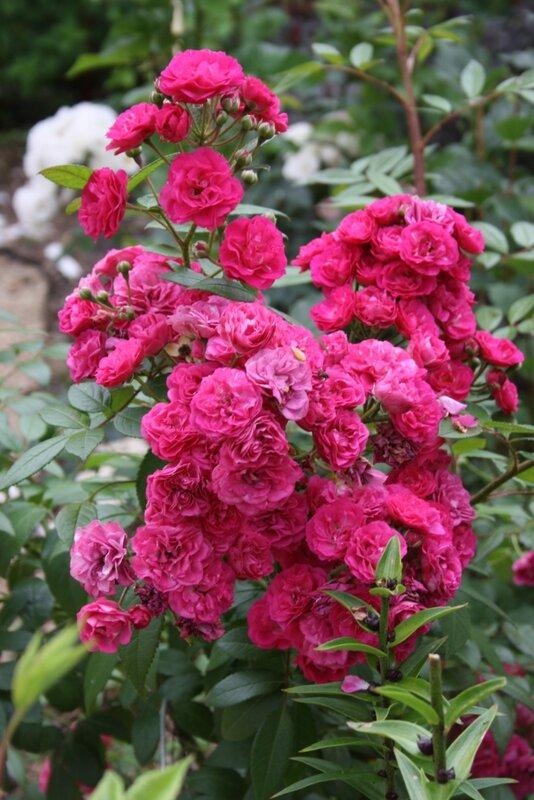 Роза мускусный гибрид Динки (Dinky) Boudolf Бельгия, 2002