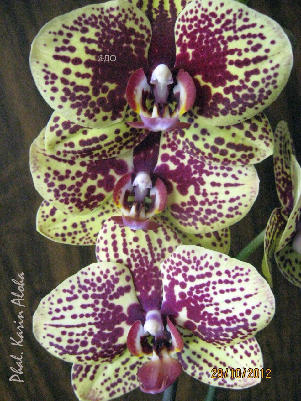 Цветы фаленопсиса Карин Алоха