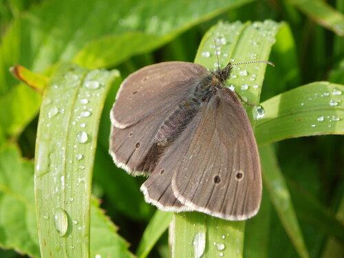 Альбом:  Мир под ногами/  Чешуекрылые - Lepidoptera / Nymphalidae - нимфалиды Автор фото: Владимир Брюхов
