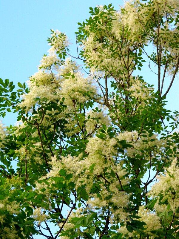 Ясень цветущий