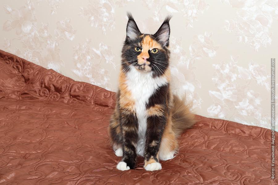 продажа котенка Мейн-кун из питомника в Москве