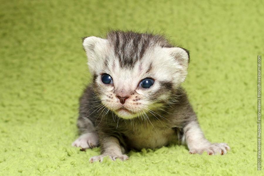 продажа котята Бомбеи нетрадиционных окрасов из питомника