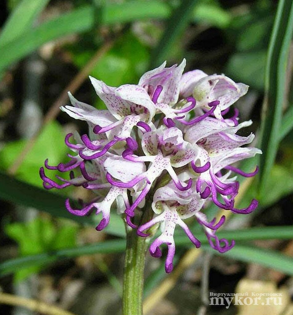 Орхидея голый мужик Ятрышник Италийский