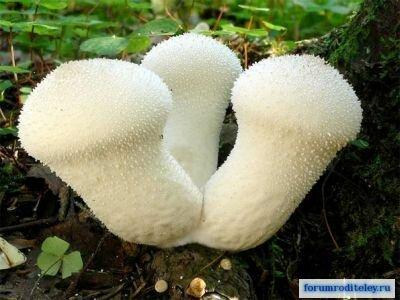 дождевик гриб фото как приготовить