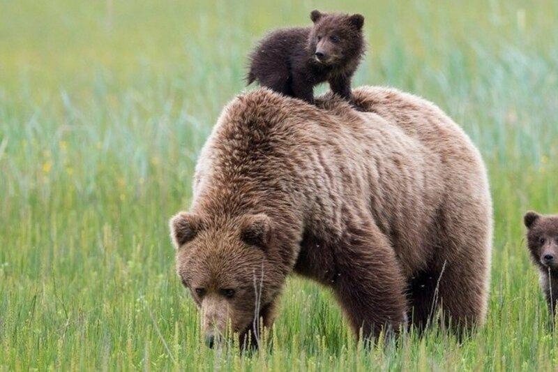 Медведь-йог