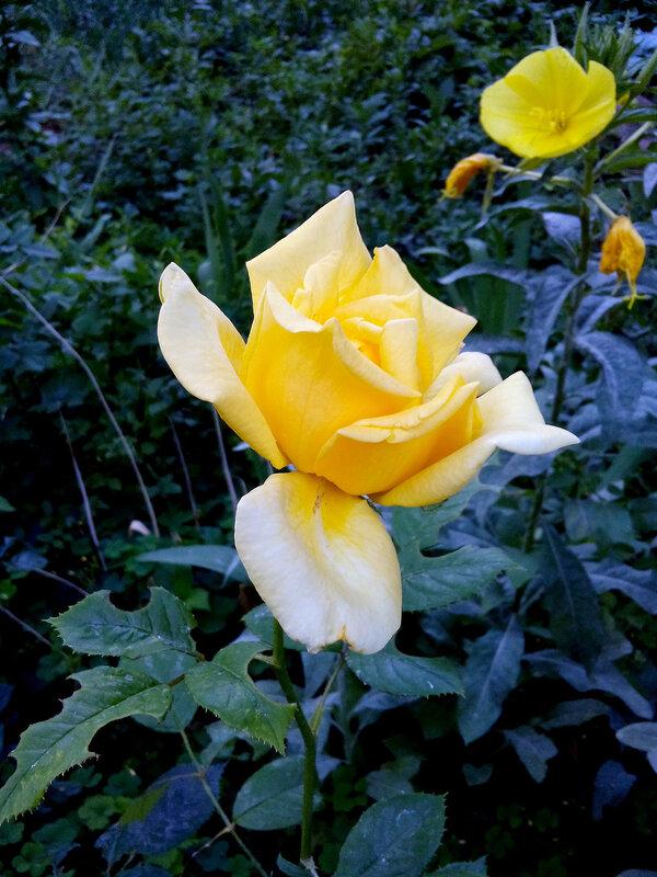 Желтая роза-желтый цветок-2.jpg