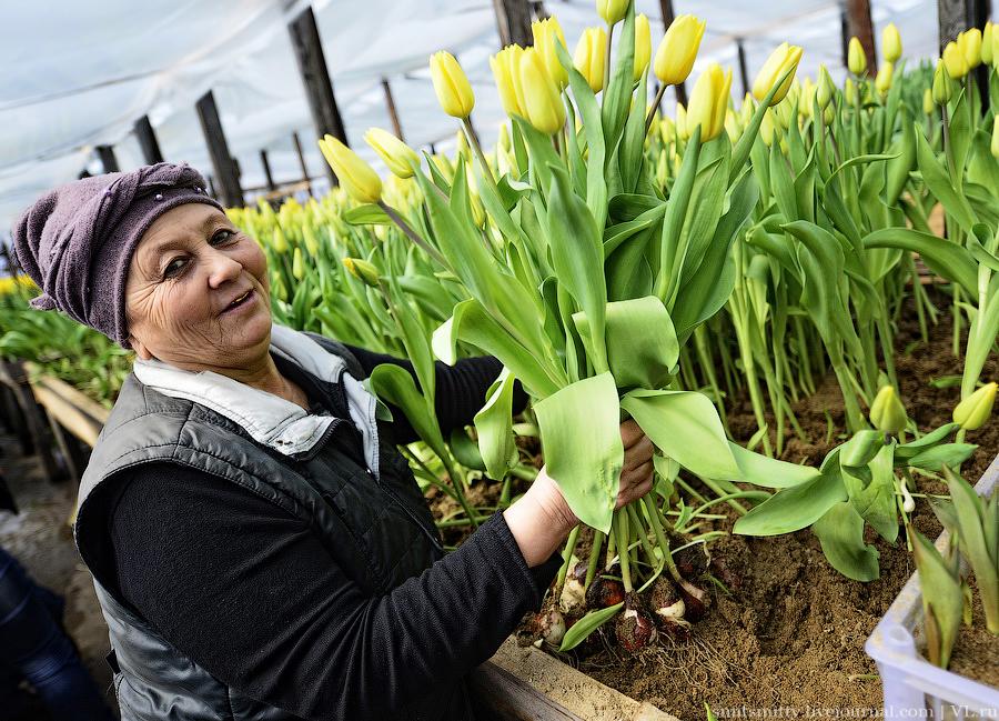Выращивание тюльпанов 90