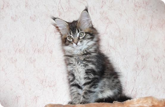 Мейн-кун котенок продажа