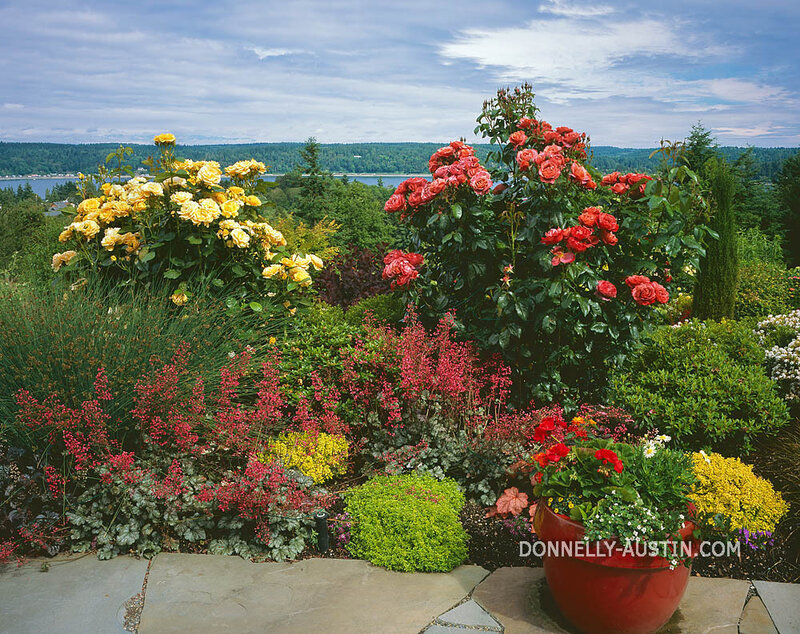 Vashon Island, WA: Summer perennial garden of roses, heuchera, barberry, sedges and boxwood overlooking Quartermaster Harbor