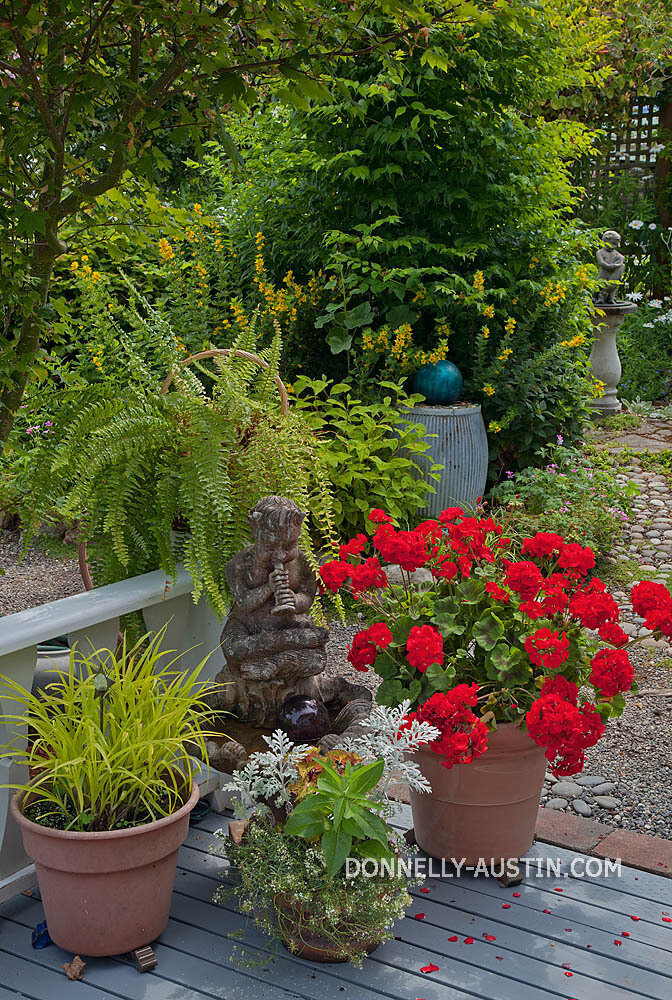 Vashon-Maury Island, WA  Terracotta pots featuring red flowering geraniums and spiderwort (Tadescantia blue gold') at the entrance to a summer perennial garden.