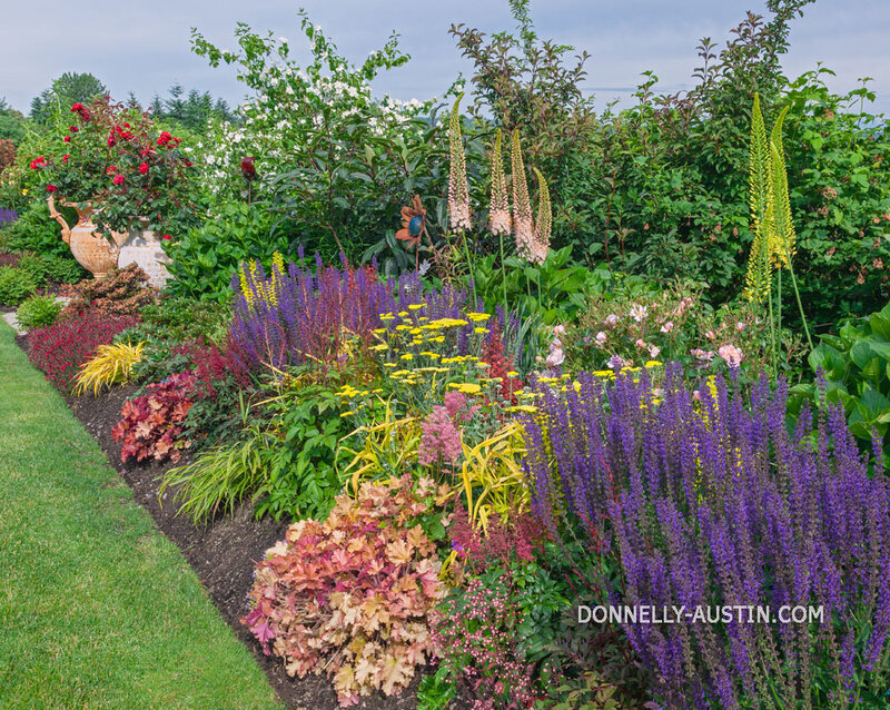 Vashon Island, WA: Summer perennial garden border featuring salvia, heuchera, yarrow, and eremurus.