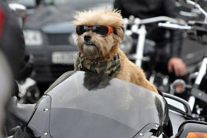 У собаки-байкера был угнан мотоцикл