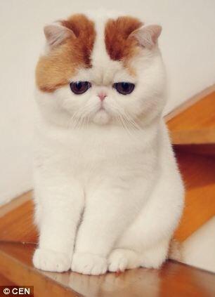 Кот милый порода