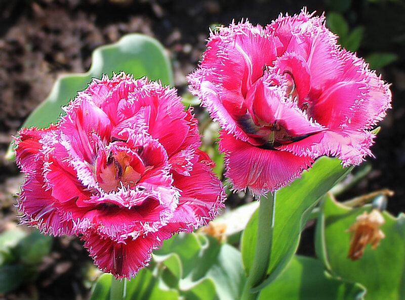 3f7e4ca5bf63 Признание в любви. Махрово-бахромчатые тюльпаны. Обсуждение на ...