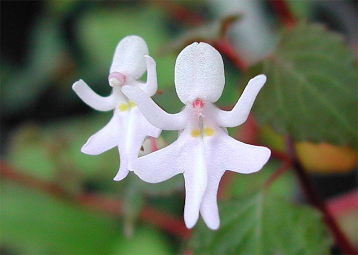 Удивительные орхидеи - Танцующие девочки (Impatiens Bequaertii)