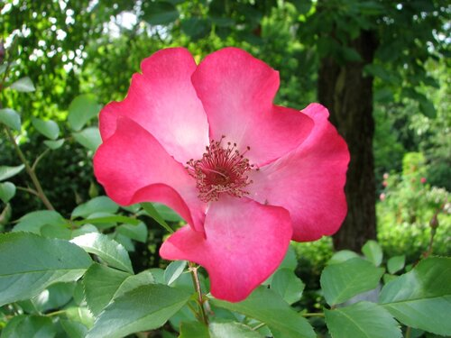 Роза Pretty @ Kiss 01.JPG