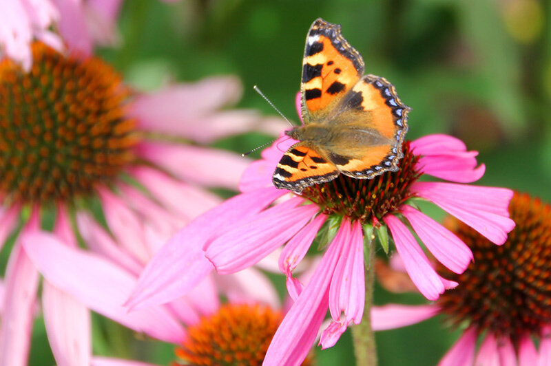 Эхинацея и бабочки.