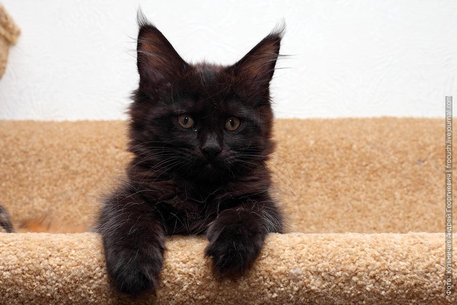Мейн-кун черный котенок фото